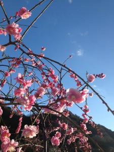 15.3.11(1)桜